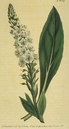 Veined-flowered Speedwell