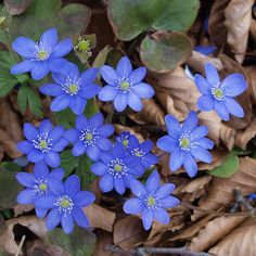 Spring flowers: Flowers of the Liverwort. -- This plant Anemone hepatica (or Hepatica nobilis) is part of the family of the Ranunculaceae. Leberblümchen