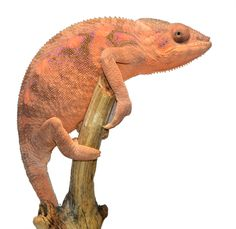 Female Panther Chameleon - Furcifer Pardalis