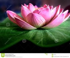 Photo about Close shot of the Lotus flower. Image of castle, orchid, lotus - 520702 Beautiful Flowers Images, Flower Images, Mahayana Buddhism, Leaf Images, Pink Orchids, Water Lilies, Image Photography, Lotus Flower, Botany