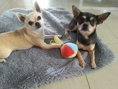 fay & mongo the chihuahuas