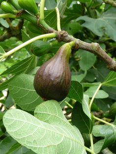 Brown Turkey Fig Bush. I will never forget the taste of these figs, and hope to one day have one of these bushes again.