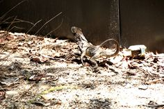 Lizards hanging out and running.Hartley's Crocodile Farm, Queensland