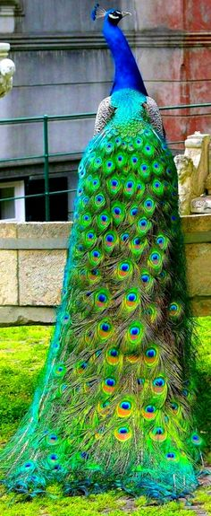 Beautiful Peacock by: Miss keeper