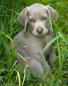 always loved the Weimaraner. look at that face!!