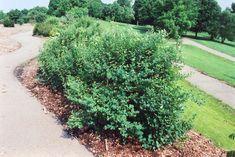Large snowberry bush