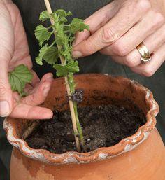 Så här stammar man upp växter till små träd med fem enkla steg | Wexthuset Indoor Flowers, Indoor Plants, Garden Spells, Green Rooms, Green Garden, Geraniums, Gardening Tips, Flower Power, Planting Flowers