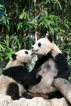 San Diego Zoo- Had to see these pandas on our visit!