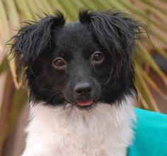 Squiggy is an adorable junior puppy debuting for adoption today at Nevada SPCA (www.nevadaspca.org).  He is a Papillon & Longhair Chihuahua mix, 9 months of age, and now neutered.  Squiggy likes having lots of toys around to choose from and he plays well with other dogs.  He needed us due to his previous owners' financial hardship.
