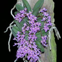 schoenorchis fragrans orchid - Google keresés