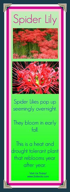 www.Sollecito.com  Red Spider Lily l Fall flowers l Flowers that attract butterflies l Fall Gardening l Landscaping Ideas l Flower Nursery