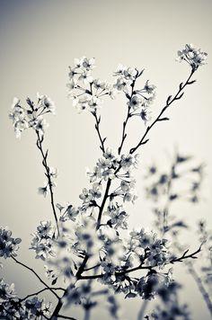 #blackandwhite Spring blossoming