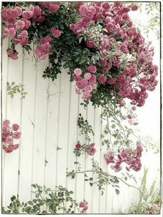 Climbing roses or Albertine roses cascading over painted white fence. White Fence, Green Fence, Black Fence, Deco Floral, Floral Design, Colorful Roses, Climbing Roses, My Secret Garden, Dream Garden