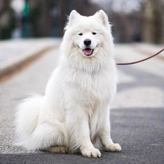 """Bear, Samoyed (4 y/o), Central Park, New York, NY • """"He feels he's the King of Central Park."""""""