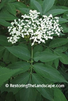 Native Plant of the Week: Canada Elderberry ~ Sambucus canadensis