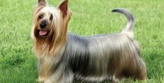 One of the best characteristics of the Australian silky terrier is its coat. If you have a silky terrier pet dog, you will love the way that it coat shines Silky Terrier, Le Terrier, Terrier Dog Breeds, Yorkshire Terriers, Yorkshire Terrier For Sale, Dog Breeds That Dont Shed, Tiny Dog Breeds, Best Small Dogs, Hypoallergenic Dog Breed