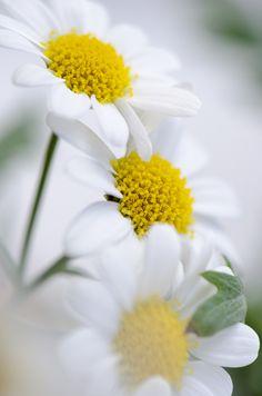 Life is beautiful — 🍃🌼🍃🍃🌼🌼🍃 Happy Flowers, My Flower, Pretty Flowers, Flower Power, Wild Flowers, Sunflowers And Daisies, Daisy Love, Daisy Daisy, Macro Flower