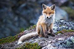 beautiful-wildlife:  Wet FoxbyJohannes Amshoff