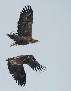 #White_Tail_Sea_Eagles - I named this image (Masters of the Sky's) - copyrighted - bruna@thrumyafricanlens.co.za
