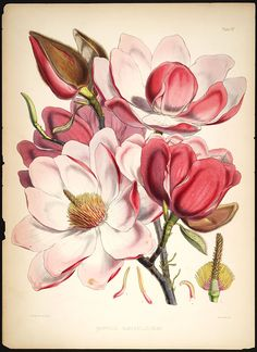 Image of Illustration of Magnolia Campbellii IV