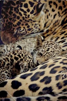 Mother leopard snuggled up with two little cubs. Tender moment.