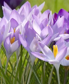 "Crocus tommasinianus *MARCH/APRIL* 4"" Bulb size: 5 cm/up. Full to partial sunlight. Height: 4"". Bloom time in horticultural zone 5: Late March/early April. Plant 4"" deep and 3"" to 4"" apart. HZ: 4-8. (Crocus are also good for forcing indoors over the winter. Pot them up in mid-October and precool them at a consistent, dark 38 to 45 degrees F for eight to ten weeks with moderate watering. Bring them into the house~they will bloom about four weeks later."