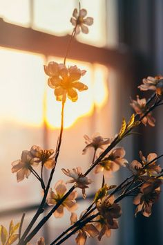 The golden hour on cherry blossoms. What could be more beautiful? ~ETS The golden hour on cherry blossoms. What could be more beautiful? Foto Nature, Beautiful Flowers, Beautiful Pictures, Flowers Nature, Beautiful Things, Morning Light, Morning Sun, Golden Hour, Light And Shadow