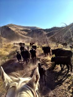 Cattle drive Cowboy Ranch, Cowboy And Cowgirl, Cool Pictures, Beautiful Pictures, Longhorn Cattle, Cattle Drive, Ranch Life, Horse Stables, Getting Up Early