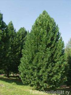 Pinus cembra SEMBRA