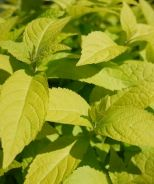 Golden Angel Japanese Shrub Mint (Leucosceptrum japonicum 'Golden Angel') This stunning selection of native shrub mint will brighten up a shady woodland garden. Bold and vibrant golden foliage on a sturdy, hardy clumping perennial. Soft yellow flower spikes appear in the fall when most perennials are fading. Ideally sited in shade, where foliage color is at its best. Very tolerant of heat and humidity. 2-3' x 2-3'
