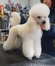 Poodle owners all over the world are coming up with new ways to make their pets beautiful. Take a look the best poodle haircuts for your friend. Dog Grooming Styles, Poodle Grooming, Pet Grooming, Perros French Poodle, Cortes Poodle, Poodle Haircut Styles, Poodle Cuts, Puppy Cut, Dog Haircuts