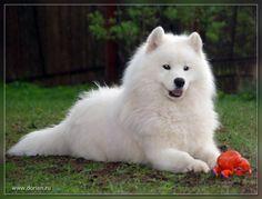 самоедская собака: 18 тыс изображений найдено в Яндекс.Картинках