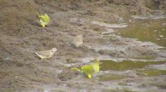 African Green Pigeons and Cape Turtle Doves - May 15 2016 - Green Pigeon, Turtle Dove, Cape, Wildlife, African, Animals, Mantle, Cabo, Animales