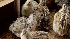 The worlds biggest Quail from Charlie at Redgate Farm in NSW.