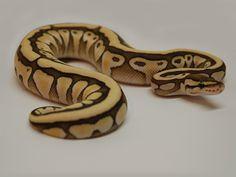 Butter Desert Ball Python Morph