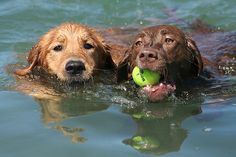 Nice Chesapeake Bay Retriever Dog photos - http://www.7tv.net/nice-chesapeake-bay-retriever-dog-photos/