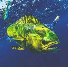 Saltwater fishing, Florida Keys. Mahi Mahi