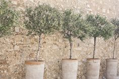 Mediterranean Garden-Don't have a garden? You can still own a fruiting olive tree, grown in a container. A sunny balcony and the right climate are the essential things; that, and ti Patio Trees, Garden Trees, Garden Pots, Fruit Garden, Balcony Garden, Vegetable Garden, Indoor Olive Tree, Potted Olive Tree, Dwarf Olive Tree