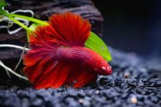 So what betta is right for you? When staring at a wall of every color betta under the sun or a never-ending list of online auctions, how do you know which Baby Betta Fish, Betta Fish Care, Baby Fish, Fish Fin, Tropical Fish Aquarium, Fish Aquariums, Cute Fish, Siamese Fighting Fish, Good Environment