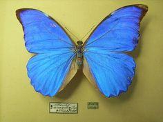 """Morpho Anaxibia Família: Ninfalídeos  Características: É uma das mais conhecidas borboletas brasileiras chamada vulgarmente de """"Azul-Seda"""" Plantas hospedeiras: Grumixama, arco-de-pipa e caneleira. Habitat: Centro e Sudeste brasileiro, sendo mais comum no Rio de Janeiro, nos meses de verão. Fonte: http://www.borboleta.org/2010/12/morpho-anaxibia.html"""