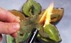 Bay Leaves Uses, What Is Bay, Bay Leaf Benefits, Laurier Sauce, Burning Bay Leaves, Indian Bay Leaf, Sante Bio, Recipes, Aromatherapy