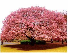Cherry Tree Growing Kit