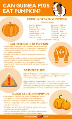 Guinea Pig Food, Pet Guinea Pigs, Guinea Pig Care, Pig Facts, Food Facts, Pumpkin Nutrition Facts, Pumpkin Benefits, Master Splinter, Pigs Eating