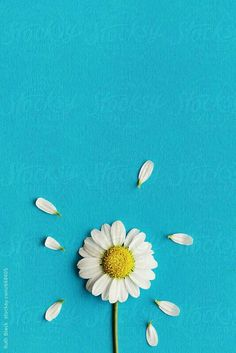 Daisy on a blue background by Ruth Black for Stocksy United – Wallpaper Sunflower Iphone Wallpaper, Daisy Wallpaper, Blue Wallpaper Iphone, Flower Phone Wallpaper, Apple Wallpaper, Blue Wallpapers, Black Wallpaper, Blue Background Wallpapers, Daisy Background
