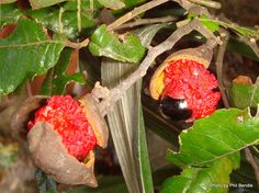 Alectryon excelsus - New Zealand Ash/ Titoki (fruit) Tall Shrubs, Tree Seeds, Black Seed, Red Fruit, Small Trees, Herbal Remedies, Forests, Woody, Green Leaves