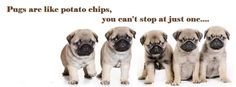 Pug Facebook Cover Photo For Your Timeline. Pug Quotes