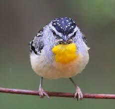 SPOTTED PARDALOTE - Pardalotus punctatus . . . Inland regions of S Australia