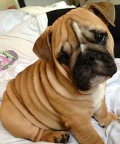 English Bulldog-all those wrinkles! Kittens And Puppies, Bulldog Puppies, Cute Puppies, Cute Dogs, Baby Animals, Funny Animals, Cute Animals, Animals Images, I Love Dogs