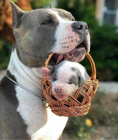 Proud pitbull parent presenting her puppy. Pitbull Terrier, Amstaff Terrier, Cute Funny Animals, Cute Baby Animals, Animals And Pets, Beautiful Dogs, Animals Beautiful, Cute Dogs And Puppies, Doggies