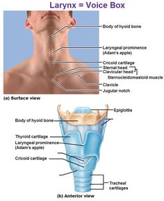 The larynx (voice box). Lung Anatomy, Medical Anatomy, Respiratory Therapy, Respiratory System, Circulatory System, Massage Therapy, Speech Therapy, Physician Assistant School, Medical Assistant